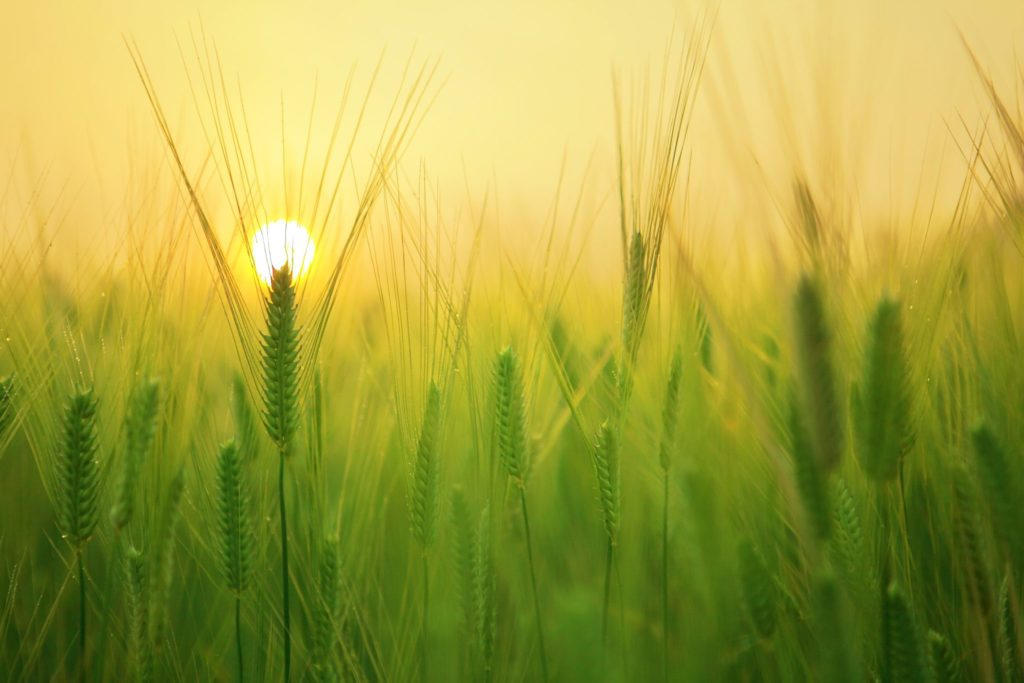 A close up of green grain growing with a yellow sun rising in the background.